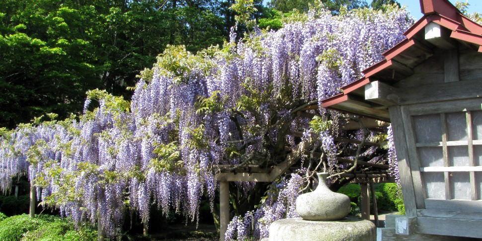 岩沼市金蛇水神社 満開の藤の花...